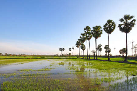 palmy: Palmy trees on the rice field and bright blue sky at Angthong province in Thailand