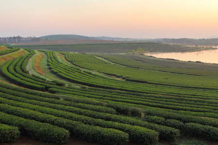 period of time: Beautiful landscape in the period time before the sunrise of tea plantation at Chiang Rai province in Thailand