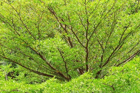 many branches: Background of beautiful green leaves with many branches