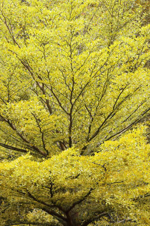 many branches: Background of beautiful yellow leaves with many branches