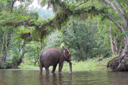 mahout: Mahout young boy and elephant in the forest at Kanchanaburi province in Thailand on May 24, 2015 :Thailand have several elephant camps and special training mahout courses.