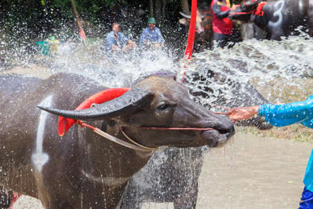 racing festival: The buffalos taking a bath while waiting to compete in the Buffalo Racing Festival at Chonburi in Thailand. The Buffalo Racing Festival is a tradition of Chonburi.