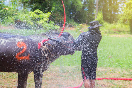 soppy: The buffalos taking a bath while waiting to compete in the Buffalo Racing Festival at Chonburi in Thailand. The Buffalo Racing Festival is a tradition of Chonburi.