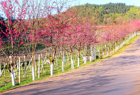 derived: Pink route derived from the beautiful of Sakura , Cherry Blossoms(cerasoides) grows each winter at Northern Thailand