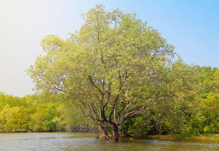 the ceriops tagal in the mangrove forest at Thailand Stock Photo