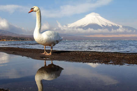 White Swan of Lake Yamanaka with Mt. Fuji background at Yamanashi,Japan. Lake Yamanaka is a point of view Mount Fuji is very popular for photographers and tourists. Travel and natural Concept Stock Photo