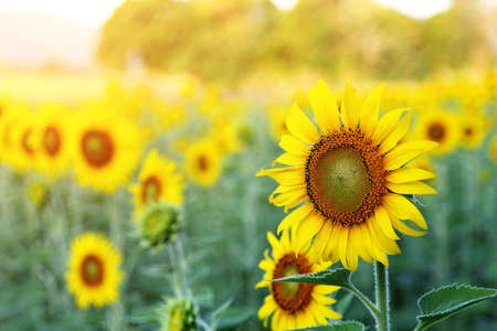 Abstract background of sunflower among sunlight Stock Photo