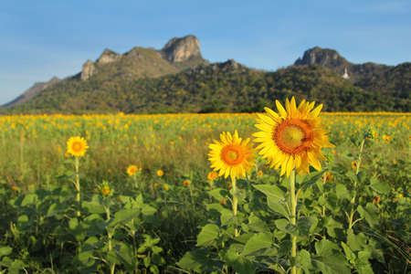 Sunflower among sunlight and background of Khao Jeen Lae mountain at Lopburi province in Thailand.This landmark is a very popular for photographers and tourists. Travel and transportation Concept Stock Photo