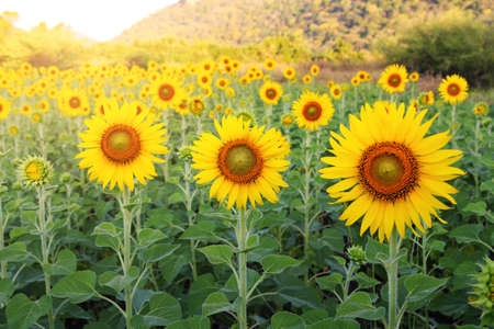 Sunflower feild among sunlight