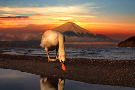 Beautiful scenery during sunrise of of Lake Yamanaka in Japan with white swan and Mountain Fuji is very popular for photographers and tourists. Travel and natural Concept
