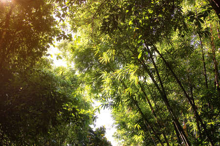 Natural background of bamboo forest and sunlight Stock Photo