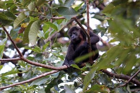 howler: Howler monkey on tree branch