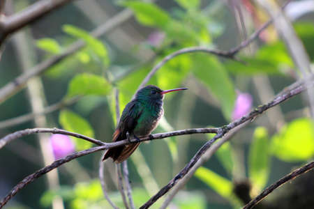 costa: Rufous-tailed hummingbird in Costa Rica Stock Photo