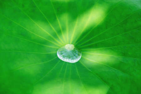 Big water drop on the lotus leaf