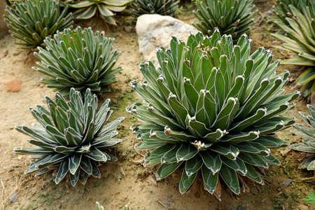 agave: Agave victoriae-reginae - Reina Victoria Agave