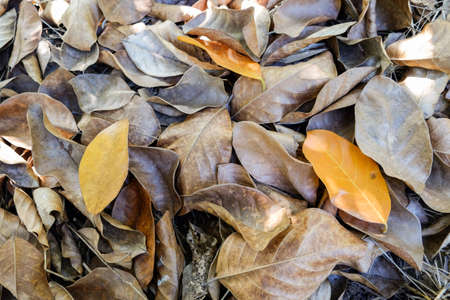 the color of silence: brown leaf of jackfruit tree on ground