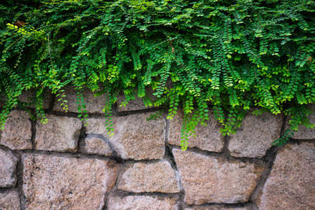 Green Climbing fig on the brick wall. Walls covered with green plants.