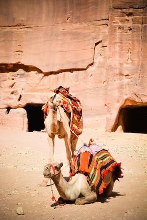 Camels Jordan Desert