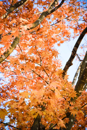 japanese maples: Japanese Maple Leafs
