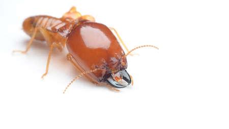 termite Reklamní fotografie
