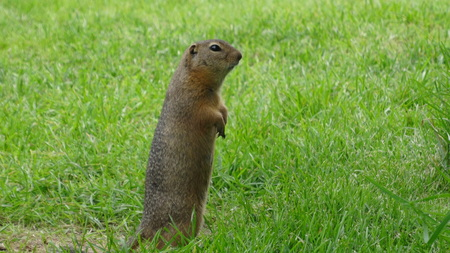 on the hind legs, gopher, look for food, in the grass