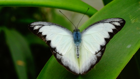 White Morpho polyphemus, tropical insect, unusual coloring, Southeast Asia, Malaysia