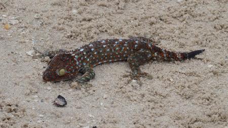 GeckoToki, beaches of Thailand, exotic aquarium animals, recline the tail