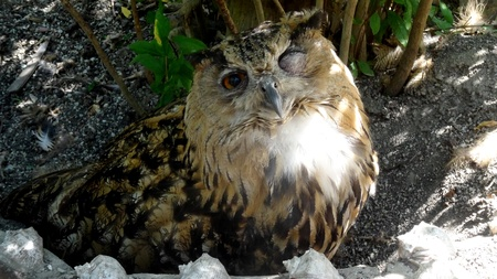 Eagle-owl strabismus, the sun shines in the left eye