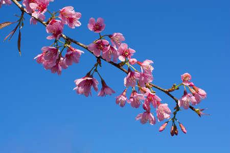 bunchy: a bunchy of wild himalayan cherry