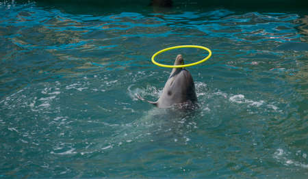 A dolphin plays with a hoop in pool