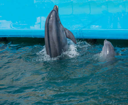 a flock of dolphins jump out of the water. dolphins show in the pool. dolphins jumping over the rope