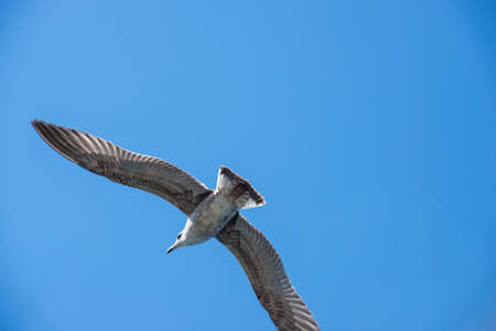 Flying seagull. seagull caught in flight up the blue sky