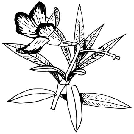 Hand drawn vector illustration of a flower isolated on white. drawing in a sketch style Ilustração