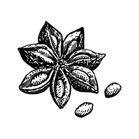 Anise Star Vector drawing. Hand drawn sketch. Seasonal food illustration isolated on white. Engraved style spice and flavor object. Cooking and aromatherapy ingredient.