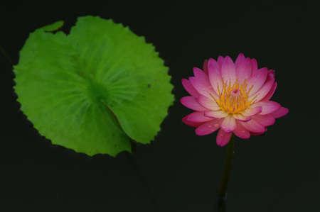 Blossom lotus in lake