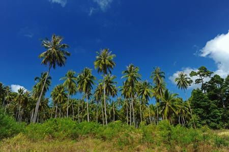 Row of coconut, Samui Island photo