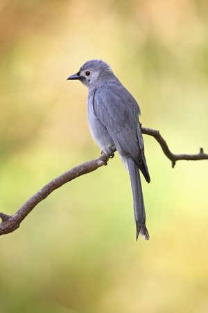 Ashy drongo