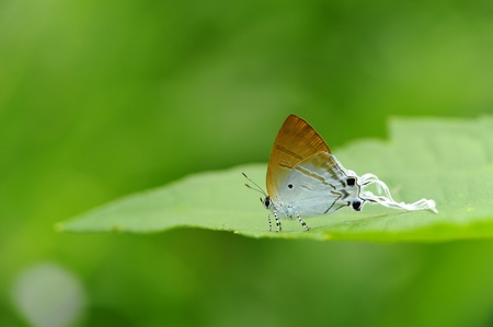 Butterfly (Imperial)