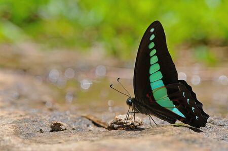 Butterfly (Graphium sarpedon) Stock Photo