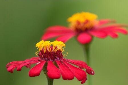 Red zinnia in garden Stock Photo