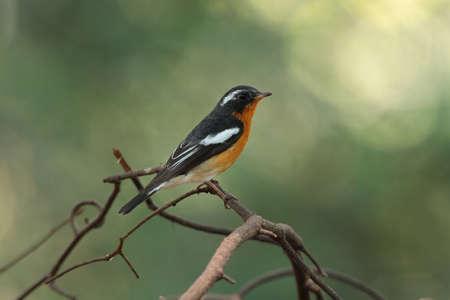 Bird(Mukimaki flycatcher)