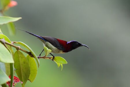 Black throat sunbird Stock Photo - 8824872