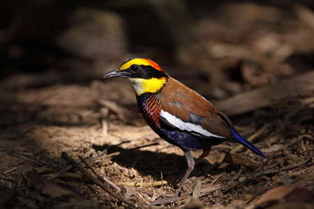 Banded pitta(male)