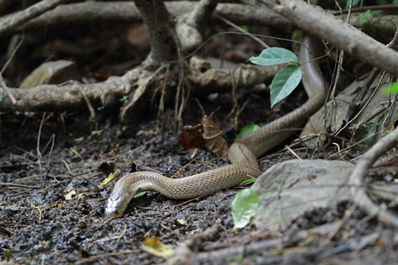 King cobra eating water in Jungle