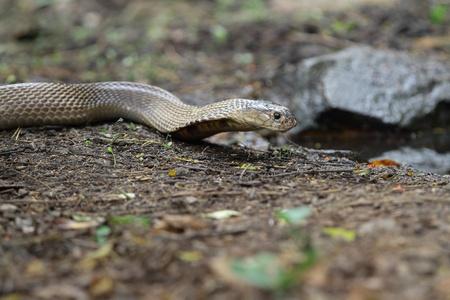 King cobra eating water in Jungle photo