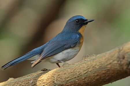 Tickell s Blue Flycatcher (Male) Stock Photo