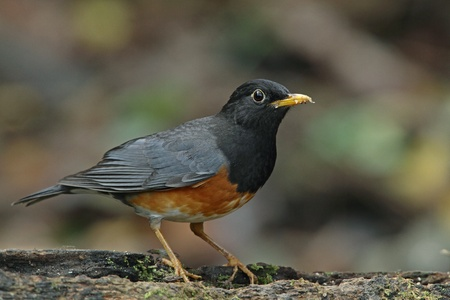 Black-breasted Thrush (Male) Stock Photo