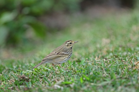 Olive-backed Pipit Stock Photo