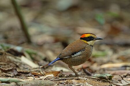Banded Pitta(female)