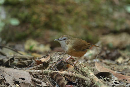 Abbotts Babbler Stock Photo